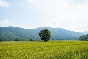 The landscape of green rice fields with mountains at Chiang Rai, Thailand photo
