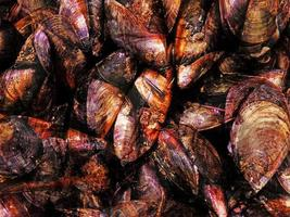 Pile of mussels in shells photo