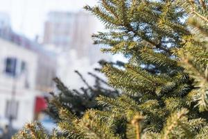 Branches of a spruce tree with a blurred city background in Vladivostok, Russia