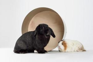 Little dwarf rabbit with guinea pig isolated on white photo