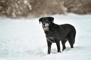 Portrait of cute black labrador dog in white fresh snow photo