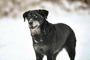 Portrait of cute black labrador dog in white fresh snow