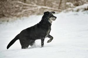 Black happy dog running in the snow