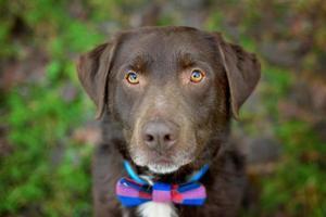 Chocolate Labrador retriever at the park