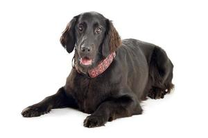 Flat-Coated Retriever in front of a white background photo