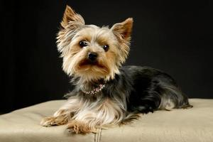 Yorkshire Terrier puppy posing on a black background photo