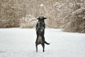 Playing and jumping black labrador dog in winter on snow