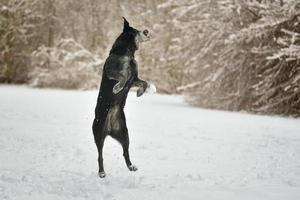 jugando y saltando perro labrador negro en invierno sobre la nieve foto