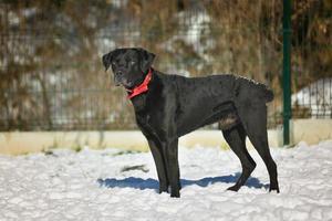 Black big dog walking in a winter park
