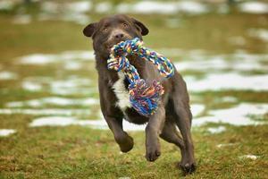 Labrador de chocolate jugando en el patio con un juguete foto