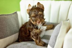 A Yorkshire Terrier dog sitting on a beige chair