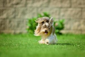 yorkshire terrier, pelo largo, runnin, en, pradera verde, en el estacionamiento foto