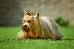 Yorkshire terrier long hair runnin on green meadow in park photo