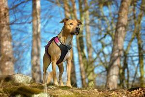 American pit bull terrier outside photo