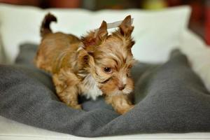 A Yorkshire Terrier dog sitting on a beige chair photo