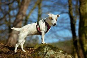 Portrait of a white dog standing on a stone in the autumn forest