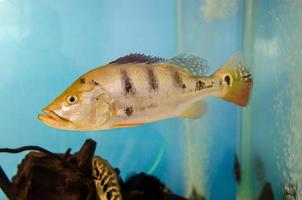 Cichla fish in a tank photo