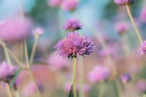flor de cardo rosa en invierno foto
