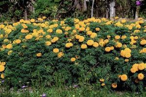 Marigold flowers on plantation photo