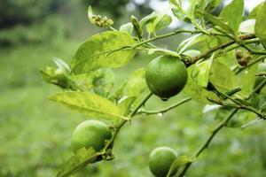 Lemon on tree in rainy season