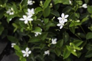 flores de jazmín blanco