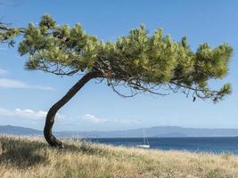 Pine on the beach framing a sailboat on a sunny day photo