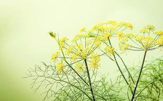 Yellow fennel flowers photo