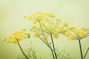 Close-up of fennel flowers photo