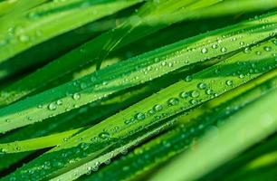 Raindrops on green leaves close-up photo