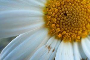 hermosa flor de margarita blanca en la temporada de primavera foto