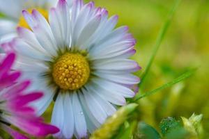 una flor de margarita blanca en la temporada de primavera foto