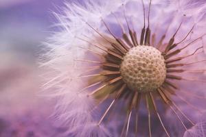 hermosa semilla de diente de león en la temporada de primavera foto