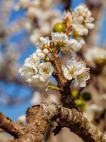 Plum blossom flowers photo
