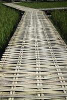 Walkway in a rice field photo