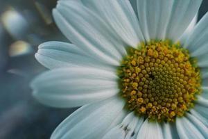 Beautiful white daisy flower in the spring season photo