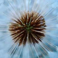Beautiful dandelion flower seed in the spring season photo