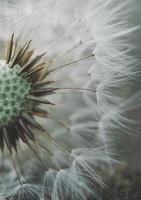 hermosa semilla de flor de diente de león en la temporada de primavera foto