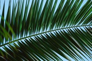 fondo de hojas de palmera verde foto