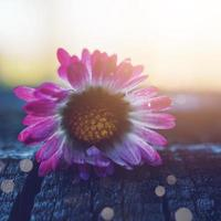 flor de margarita blanca y rosa en la temporada de primavera foto