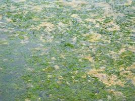 parche de algas o algas para textura o fondo foto