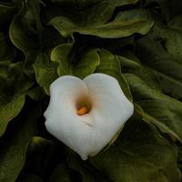 hermosa flor de cala de lirio blanco en la temporada de primavera foto