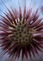 Beautiful dandelion seed in the spring season photo