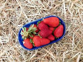 Strawberries in a blue bowl on a hay or straw background