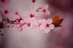 Pink flowers in the spring season, sakura cherry blossoms photo
