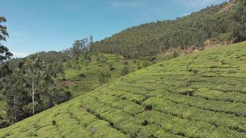 sobrevoar a plantação de chá verde nas colinas, munnar, Índia. video