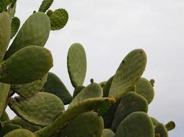 Hojas de cactus redondas contra un cielo azul foto