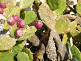 hojas redondas de cactus con bayas moradas foto