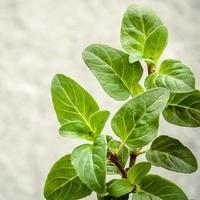 Close-up of oregano leaves photo