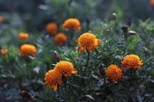 Marigold flowers in a garden photo