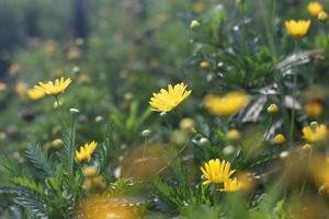 flores de margarita amarilla en un jardín foto